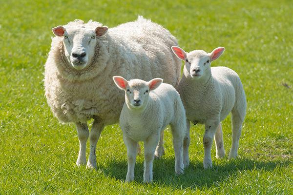 Le mouton lulu la taupe jeux gratuits pour enfants - Photo de mouton a imprimer ...